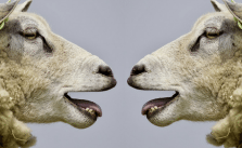 Schafe Schafskälte