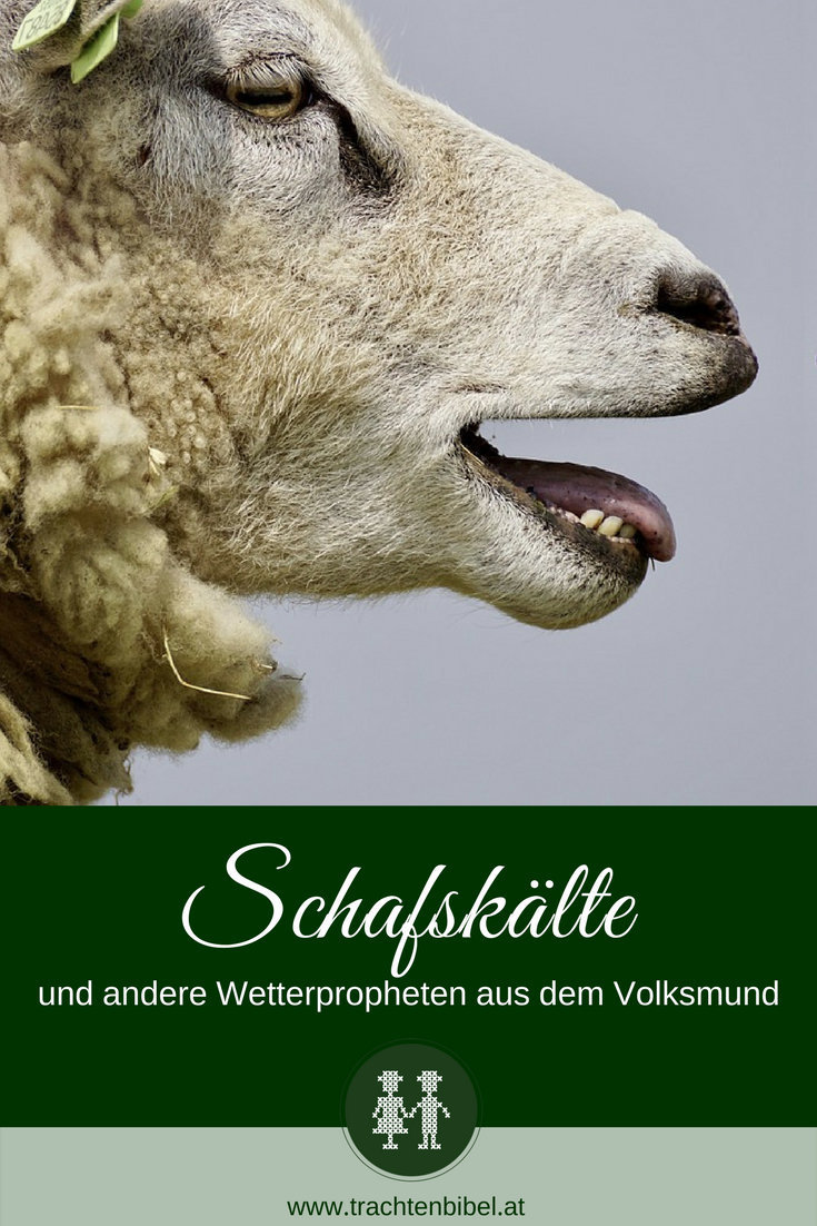 Schafskälte Schaf Blöken